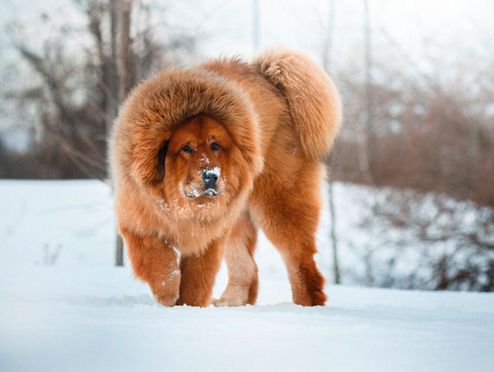 Тибетский мастиф – довольно габаритный представитель собачьих