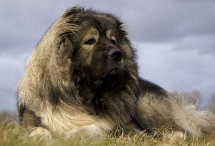 Кавказская овчарка обладает спокойным, уравновешенным характером