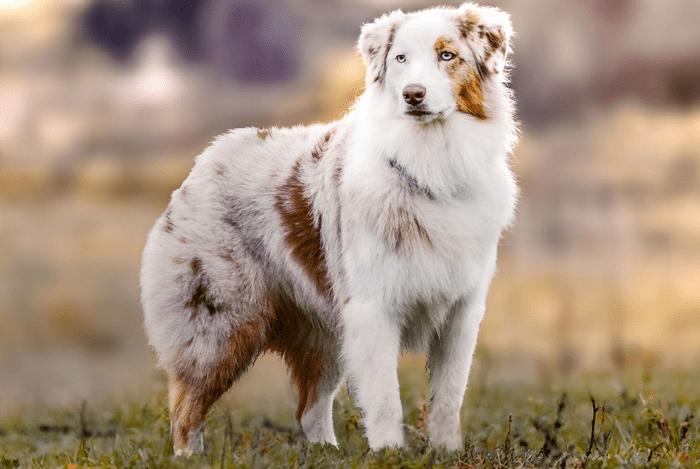 Аусси изначально выводились, как пастушья порода