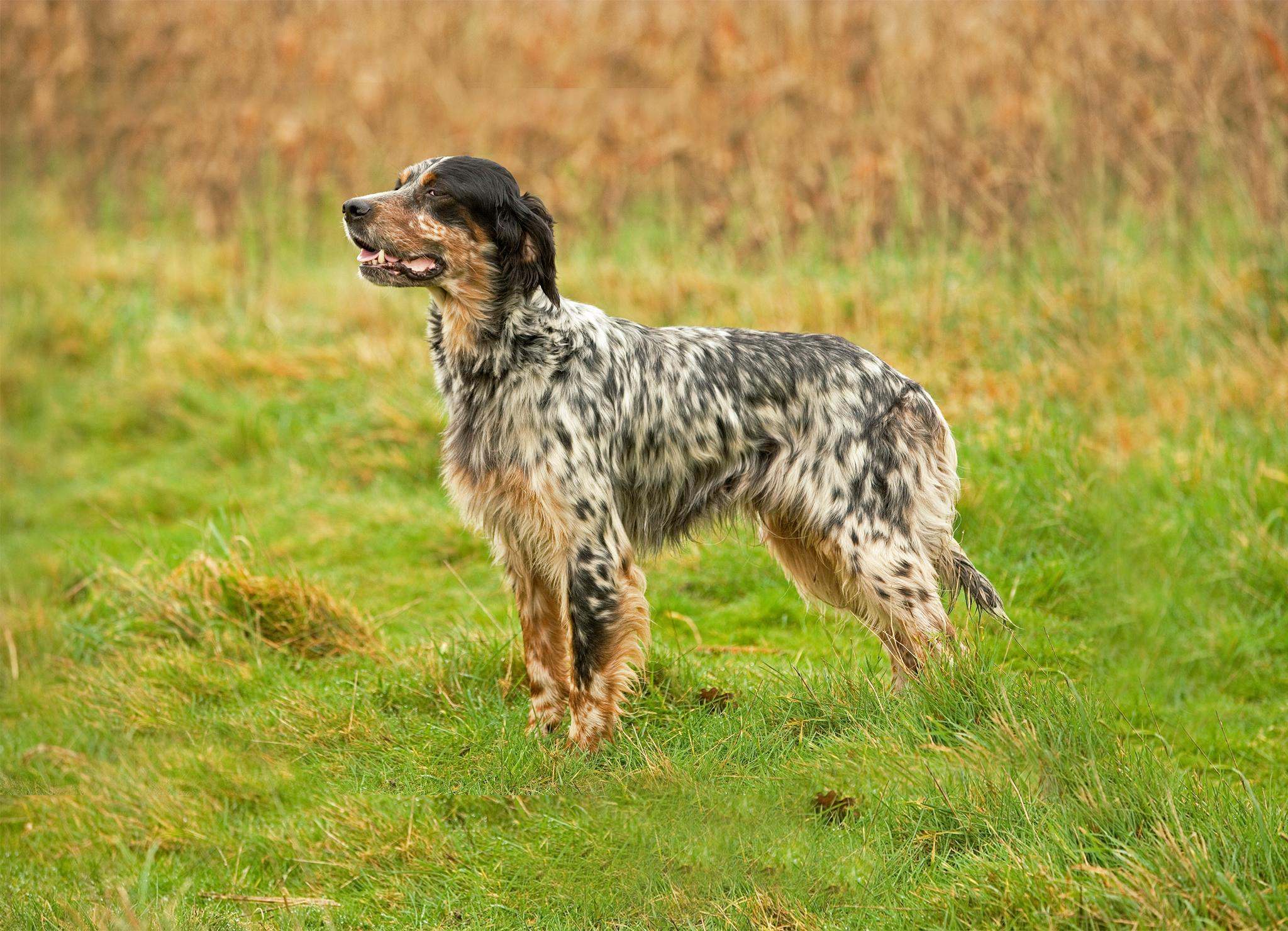 Английский сеттер – пес с необычным «мраморным» окрасом