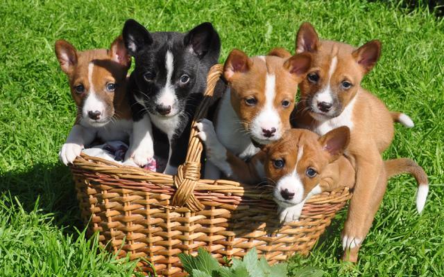 Заводчики отдают щенков возрастом не младше 1,5 месяцев
