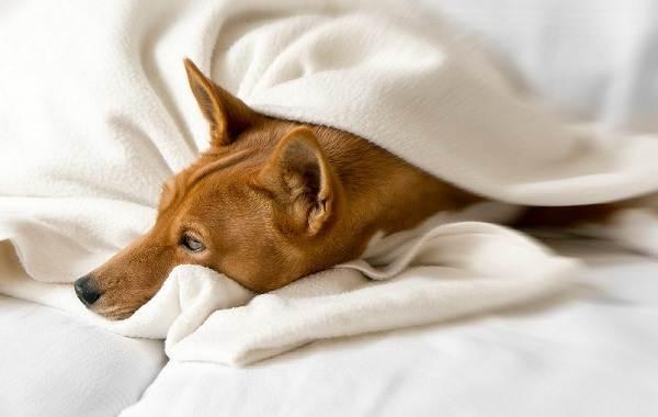 В среднем собаки Занде живут 12-16 лет