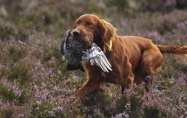 Собаки породы ирландский сеттер идут на полевую дичь